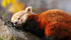 Red Panda Wallpaper 27520