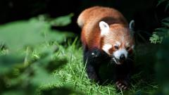 Red Panda Wallpaper 27524