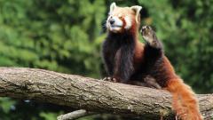 Red Panda Wallpaper 27528