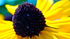 Rudbeckia Flowers HD 34809