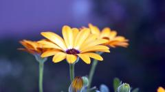 Rudbeckia Flowers HD 34812