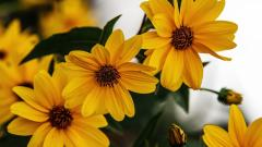 Rudbeckia Flowers Wallpaper 34806