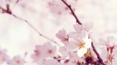 Sakura 20959