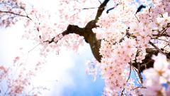Sakura 20965