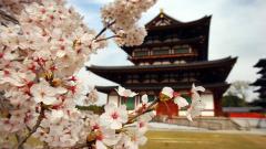 Sakura Flower 20973