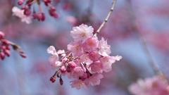 Sakura Flower 20976