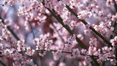 Sakura Flower 20977