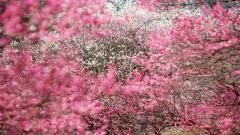 Sakura Japan 20978