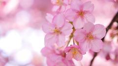 Sakura Wallpaper 20954