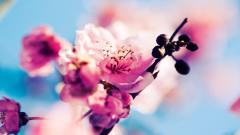 Sakura Wallpaper 20961