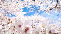 Sakura Wallpaper 20964