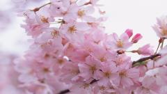 Sakura Wallpaper 20971