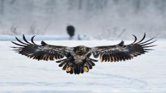 Stunning Eagle Wallpaper 42013