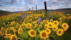 Sunflower Field Wallpaper 32395
