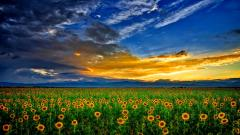 Sunflower Field Wallpaper 32396