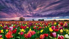 Tulip Fields 8770
