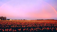 Tulip Fields 8771