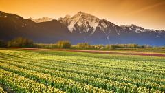 Tulip Fields 8777