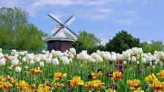 Tulip Fields 8778