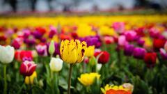 Tulip Fields 8779