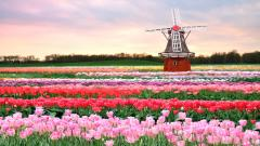 Tulip Fields 8780
