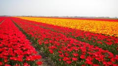 Tulip Fields 8782