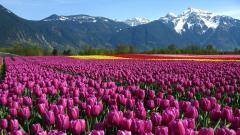 Tulip Fields 8784