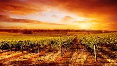 Vineyard 26367