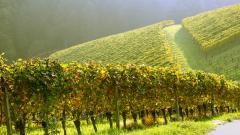 Vineyard 26369