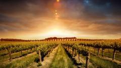Vineyard 26374