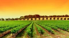 Vineyard Background 26376