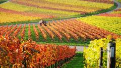 Vineyard Wallpaper 26358