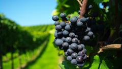 Vineyard Wallpaper 26359