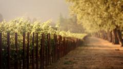 Vineyard Wallpaper 26360