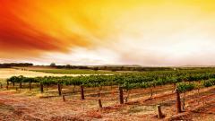Vineyard Wallpaper 26364