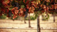 Vineyard Wallpaper 26365