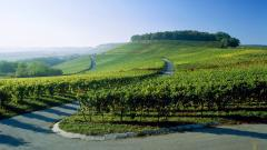 Vineyard Wallpaper 26366