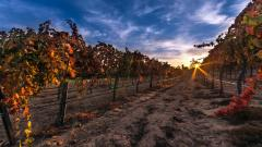 Vineyard Wallpaper 26375