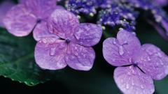 Violet Flowers 16148