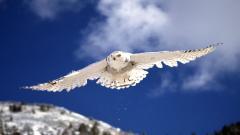 White Owl 30384