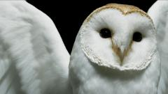 White Owl HD 30390