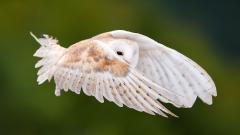 White Owl Wallpaper 30380