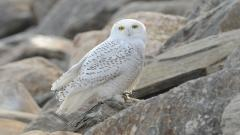 White Owl Wallpaper 30385