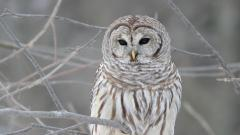 White Owl Wallpapers 30382