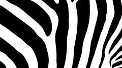 Zebra Backgrounds 18499