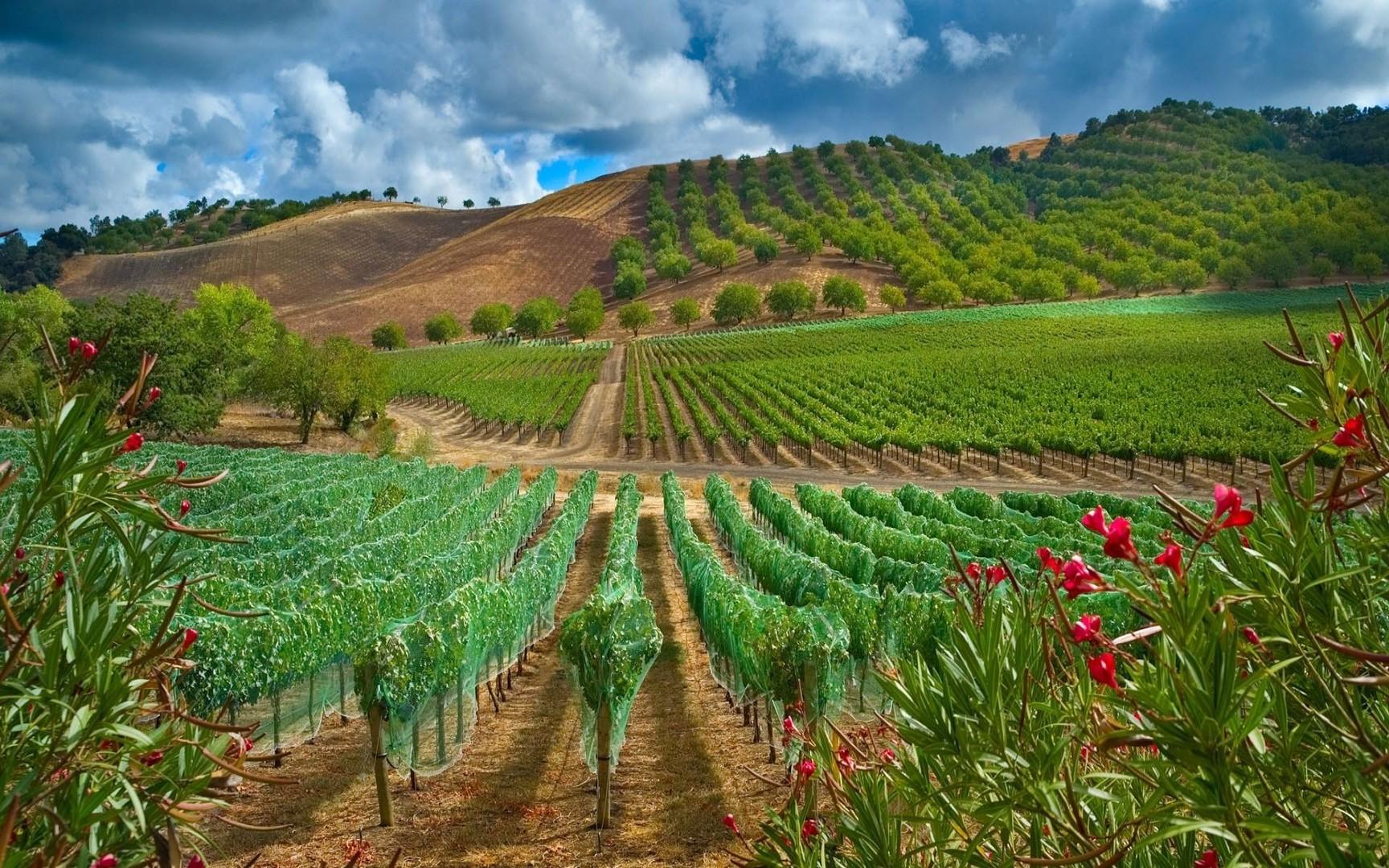 vineyard 26363