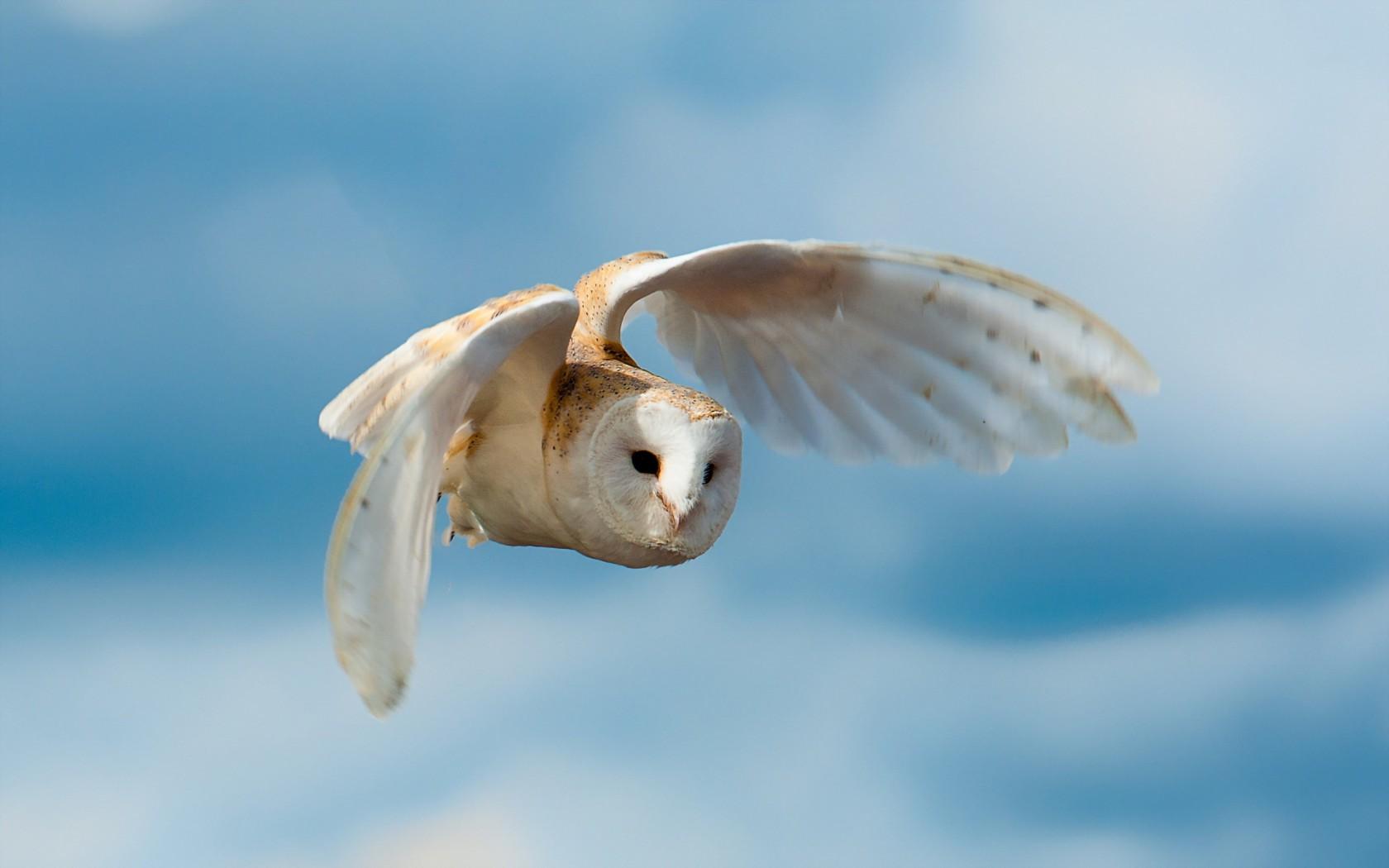 white owl 30389