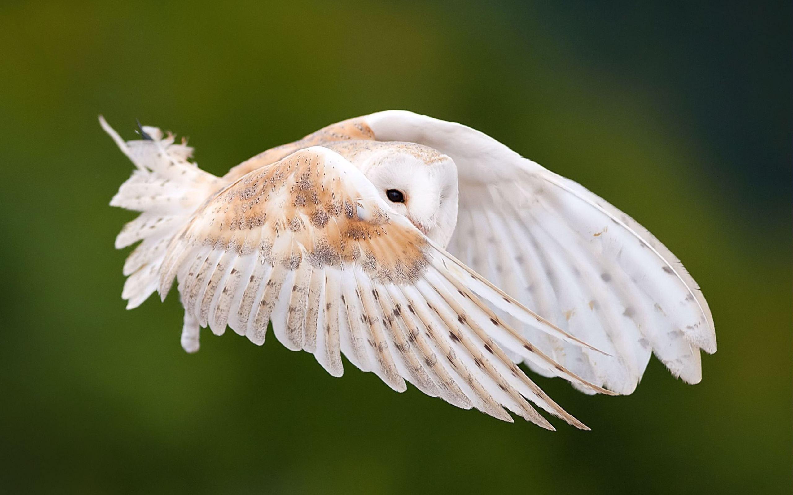 white owl wallpaper 30380