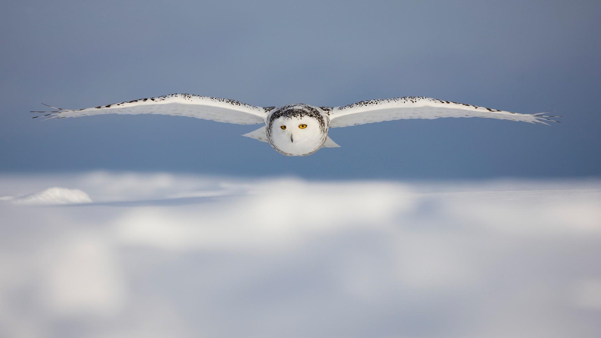 White Owl Wallpaper 30387 1920x1080 px HDWallSourcecom