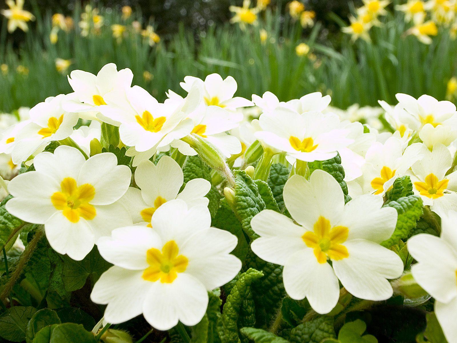 white spring flowers 14128